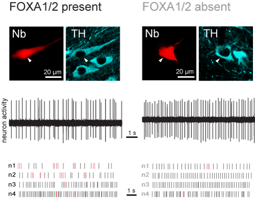 Spontaneous activity of dopaminergic neurons in control mice (left column) and in mice lacking FOXA1/2 in these neurons (right). Following recording of action potentials or 'spikes' (middle panels), individual neurons were labelled with Neurobiotin (Nb) and confirmed to be dopaminergic by expression of tyrosine hydroxylase (TH), which is needed for the synthesis of dopamine (upper panels). The lower panels show examples of spike firing of 4 example neurons (n1-n4) from each type of mouse. Spikes fired withi