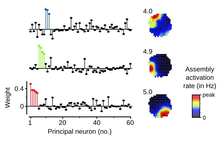 "Illustration of three concurrently expressed hippocampal cell assembly patterns. Left side: ""weight vectors"" indicating for each of 60 simultaneous recorded principal neurons their contribution to each pattern. Right side: ""assembly maps"" showing strong spatial tuning for the activation of each assembly pattern (numbers indicate peak assembly activation rates)."